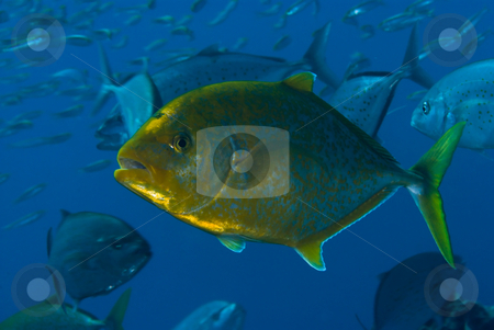 Yellow-dotted trevally (Carangoides fulvoguttatus) stock photo, Yellow-dotted trevally (Carangoides fulvoguttatus) shown here still with it's juvenile colouring. Red Sea Egypt. by Mark Doherty