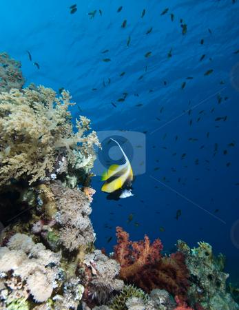 Red Sea bannerfish  (Heniochus intermedius) stock photo, Red Sea bannerfish  (Heniochus intermedius) and coral reef. Red Sea, Egypt. by Mark Doherty
