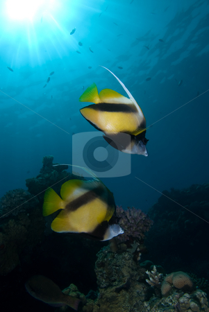 Red Sea bannerfish (Heniochus intermedius) stock photo, Red Sea bannerfish (Heniochus intermedius).Red Sea, Egypt. by Mark Doherty