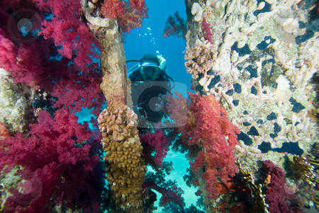 Vibrant  Purple Broccoli coral (Dendronephthya klunzingeri) stock photo, Diver behind a wall of Broccoli coral (Dendronephthya klunzingeri) on an artificial reef. Red Sea, Egypt. by Mark Doherty