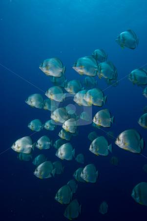 A School of Circular batfish (Platax orbicularis) stock photo, A School of Circular batfish (Platax orbicularis). Red Sea, Egypt. by Mark Doherty
