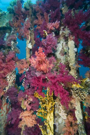 Vibrant  Purple Broccoli coral (Dendronephthya klunzingeri) stock photo, Vibrant  Purple Broccoli coral (Dendronephthya klunzingeri) growing on an artificial reef. Red Sea, Egypt. by Mark Doherty