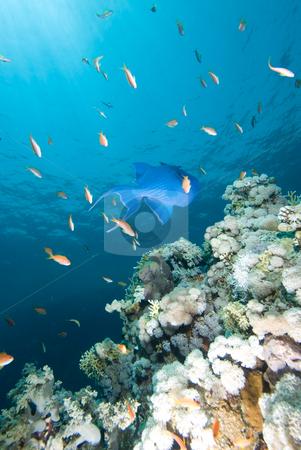 Blue triggerfish (Pseudobalistes fuscus) stock photo, Blue triggerfish (Pseudobalistes fuscus) over a hard coral  pinnacle by Mark Doherty