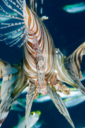 An adult Common lionfish (Pterois miles) side view stock photo, An adult Common lionfish (Pterois miles) hunting amogst yellow-striped fusiliers, low angle rear view. Red Sea. Egypt. by Mark Doherty