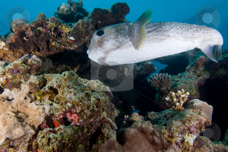 Low angle view of a Porcupinefish (Diodon hystrix) stock photo, Low angle view of a Porcupinefish (Diodon hystrix) close to the coral reef. Red Sea,Egypt. by Mark Doherty