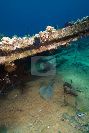 A Bluespotted stingray (Taeniura lymma) stock photo, A Bluespotted stingray (Taeniura lymma) taking shelter under the wreckage from a shipwreck by Mark Doherty