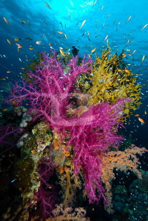 Colorful tropical reef scene with floral like soft corals stock photo, Colorful tropical reef scene with floral like soft corals, Red Sea, Egypt by Mark Doherty