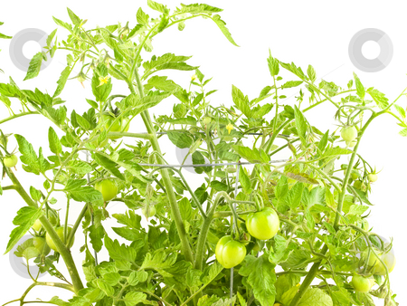 Tomato Plant stock photo, Tomamto plant with little tomatoes on white background by John Teeter