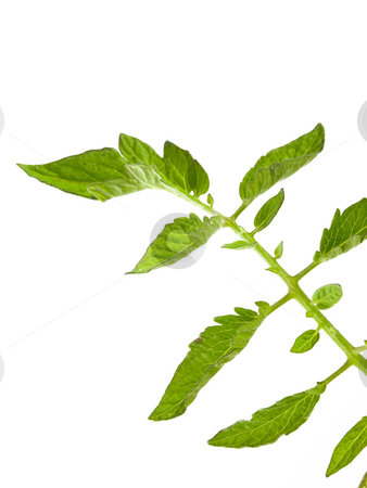 Tomato Plant Leaves stock photo, Tomato Plant Leaves on a white background by John Teeter