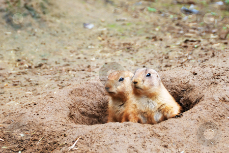 Black-tailed Prairie Dogs stock photo, Two black-tailed prairie dogs - Cynomys ludovicianus - sticking out from a burrow. by Denis Radovanovic