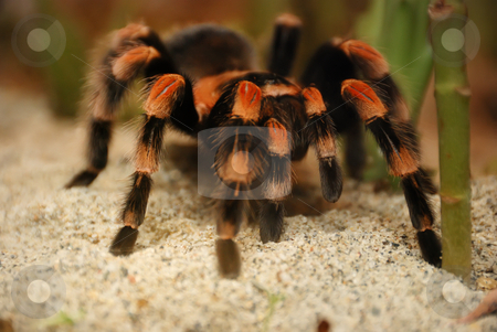 Mexican Red Kneed Tarantula - Brachypelma smithii stock photo, Mexican red kneed tarantula - brachypelma smithii on standing on sand. by Denis Radovanovic