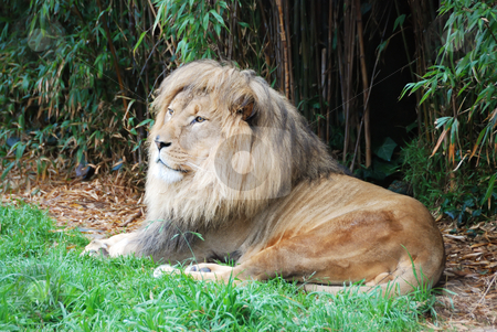Lion stock photo, Male lion lying down in shade and looking in the distance. by Denis Radovanovic