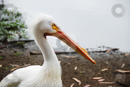 Pelican stock photo, American white pelican or rough-billed pelican with the water shore in the background. by Denis Radovanovic