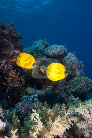 A Pair of Masked butterflyfish (chaetodon semilarvatus) stock photo, A Pair of Masked butterflyfish (chaetodon semilarvatus) over a coral reef. Red Sea, Egypt. by Mark Doherty