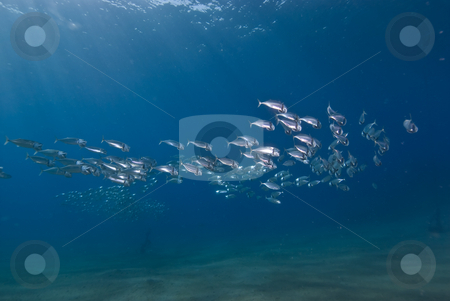 A small school of Indian mackerel (Rastrelliger kanagurta) stock photo, A small school of Indian mackerel (Rastrelliger kanagurta) in shallow water. Red Sea Egypt by Mark Doherty