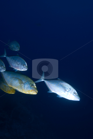 Yellow dotted trevally (carangoides fulvoguttatus), stock photo, Yellow dotted trevally (carangoides fulvoguttatus), Red Sea, Egypt. by Mark Doherty