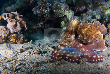 Reef octopus (Octopus cyaneus)  stock photo, Reef octopus (Octopus cyaneus) on the sandy ocean floor. Red Sea, Egypt. by Mark Doherty