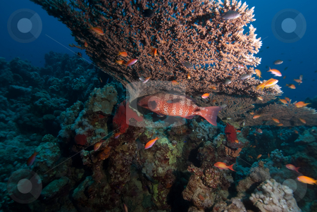 Red Sea coral grouper (Plectropomus pessuliferus) stock photo, Red Sea coral grouper (Plectropomus pessuliferus) taking shelter underneath a table coral. Red Sea, Egypt. by Mark Doherty