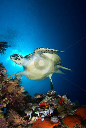 Hawksbill turtle (eretmochelys imbricata) stock photo, Hawksbill turtle (eretmochelys imbricata), endangered, swimming over the coral reef in the early morning. Red Sea, Egypt. by Mark Doherty