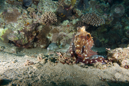 Reef octopus (Octopus cyaneus)  stock photo, Reef octopus (Octopus cyaneus) on the sandy ocean floor. Red Sea, Egypt. by Mark Doherty
