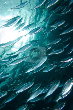A tight school of Indian mackerel (Rastrelliger kanagurta) stock photo, A tight school of Indian mackerel (Rastrelliger kanagurta) by Mark Doherty