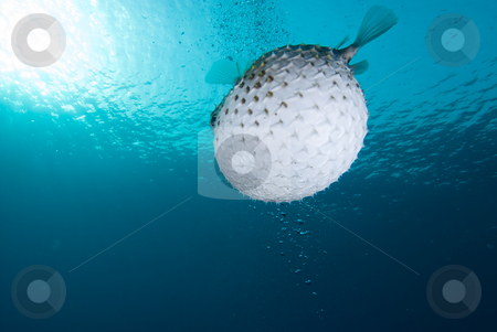 A bloated Porcupinefish (Diodon hystrix) stock photo, A bloated Porcupinefish (Diodon hystrix), underside view. Red Sea, Egypt by Mark Doherty