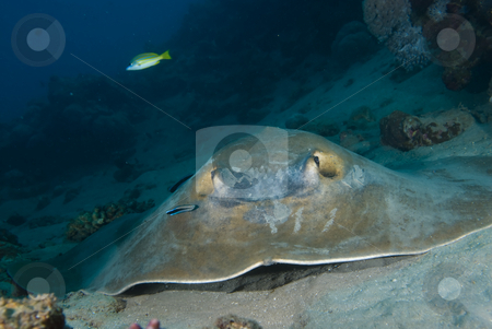 Front view of Feathertail stingray (Pastinachus sephen) stock photo, Front view of Feathertail stingray (Pastinachus sephen) and cleaner wrasse (Labroides dimidiatus). Red Sea, Egypt. by Mark Doherty
