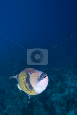 Titan triggerfish (Balistoides viridescens) stock photo, Titan triggerfish (Balistoides viridescens), Red Sea, Egypt. by Mark Doherty