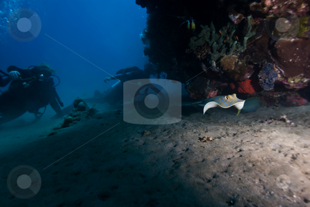 Divers observing a swimming Bluespotted stingray (taeniura lymma stock photo, Divers observing a swimming Bluespotted stingray (taeniura lymma). Red Sea, Egypt. by Mark Doherty