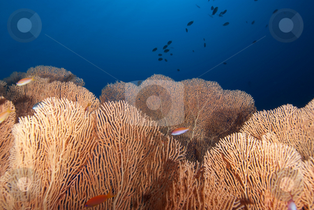 A colony of healthy giant sea fan (annella mollis) stock photo, A colony of healthy giant sea fan (annella mollis), Red Sea, Egypt by Mark Doherty