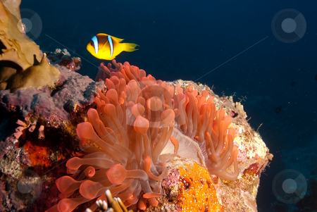 Red Sea anemonefish (Amphiprion bicinctus)  stock photo, Red Sea anemonefish (Amphiprion bicinctus) over its vibrant red bubble anemone. Red sea, Egypt. by Mark Doherty