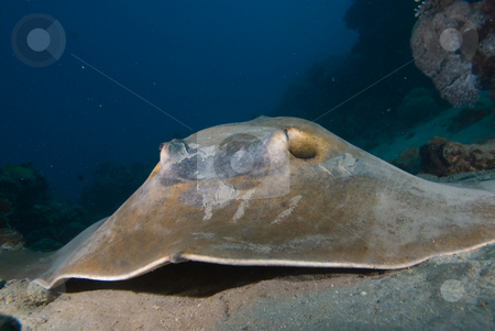 Front view of Feathertail stingray (Pastinachus sephen) stock photo, Front view of Feathertail stingray (Pastinachus sephen) on a sandy ocean floor.Red Sea, Egypt by Mark Doherty