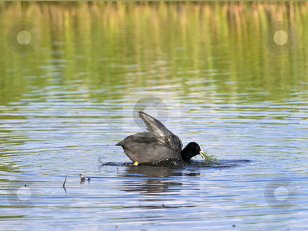 Coot  stock photo, Single swimming coot with grass in the beak by Sergej Razvodovskij