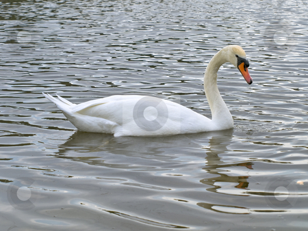 Swan  stock photo, Single swan swimming at the ripple dark water by Sergej Razvodovskij