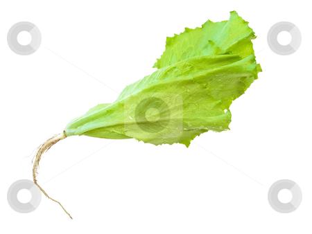 Salad  stock photo, The photo of the green salad at the white background by Sergej Razvodovskij