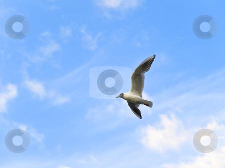 Seagull  stock photo, Flying seagull in the blue sky by Sergej Razvodovskij