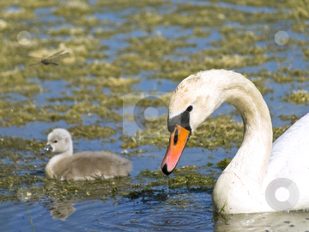 Swan  stock photo, Little swan with parent swimming at the water with ooze by Sergej Razvodovskij