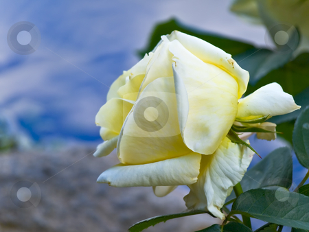 Rose  stock photo, Yellow rose against the blue sky by Sergej Razvodovskij