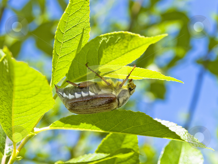 Chafer  stock photo, Chafer at the green leaf against the blue sky by Sergej Razvodovskij