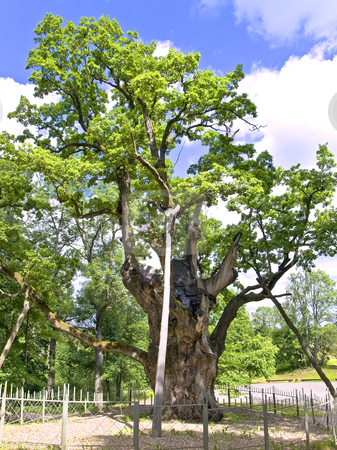 Oak  stock photo, The oldies oak in Europe (appr.1500 years) which growing in the Lithuania by Sergej Razvodovskij