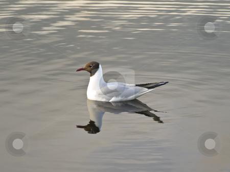 Gull  stock photo, Single gull swimming at the water by Sergej Razvodovskij