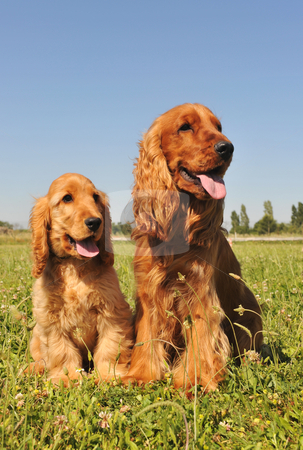 Cocker spaniel, adult and puppy stock photo, Portrait of two cockers spaniels, an adult and a puppy by Bonzami Emmanuelle