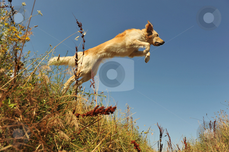 Jumping dog stock photo, Jumping purebred golden retriever on a blue sky by Bonzami Emmanuelle