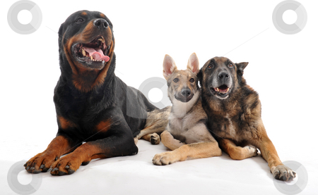 Three dogs stock photo, Three purebred dogs: a rottweiler, an old malinois and a puppy slovakia wolf dog by Bonzami Emmanuelle