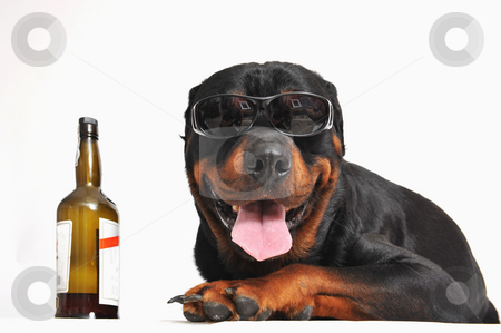 Rottweiler, alcohol and sunglasses stock photo, Portrait of a purebred rottweiler with sunglasses and bottle of alcohol. focus on the dog by Bonzami Emmanuelle