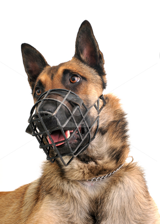 Malinois and muzzle stock photo, Portrait of a purebred belgian shepherd malinois withe his muzzle by Bonzami Emmanuelle