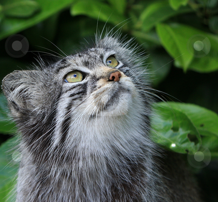 Cat stock photo, Close-up portrait of a beautiful Pallas cat aka Manul by Karen Arnold