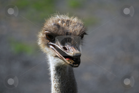 Ostrich stock photo, Close up portrait of an Ostrich head by Alain Turgeon