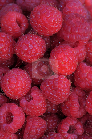 Fresh-picked red raspberries ready to eat vertical stock photo, Fresh-picked red raspberries (Rubus idaeus) from a home garden ready to eat vertical by Stephen Goodwin