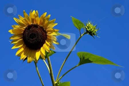 Sunflower on blue sky stock photo, Yellow sunflower on clear blue sky by Juraj Kovacik